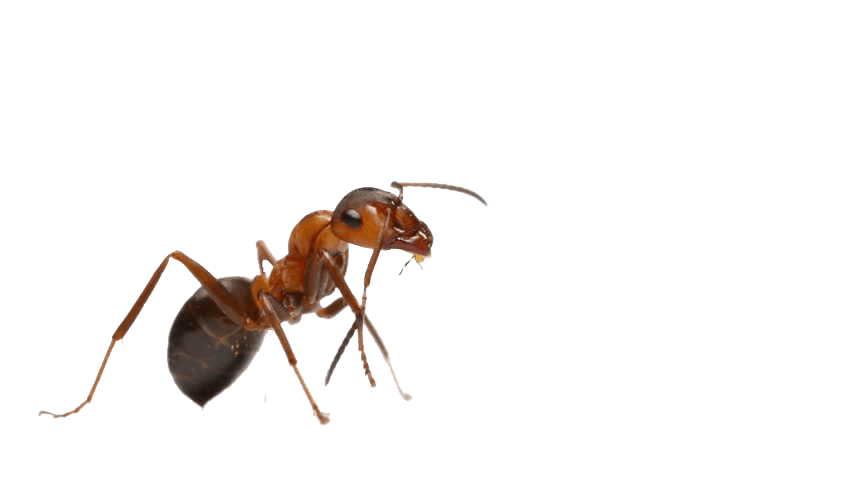 Queen ant for sale