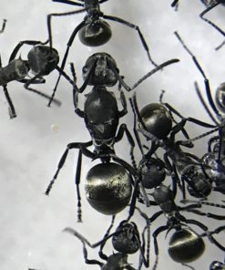 Polyrhachis Dives Colony