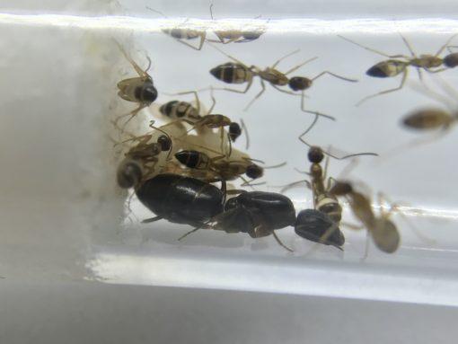 Camponotus albosparsus