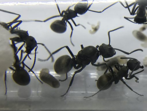 Polyrhachis dives