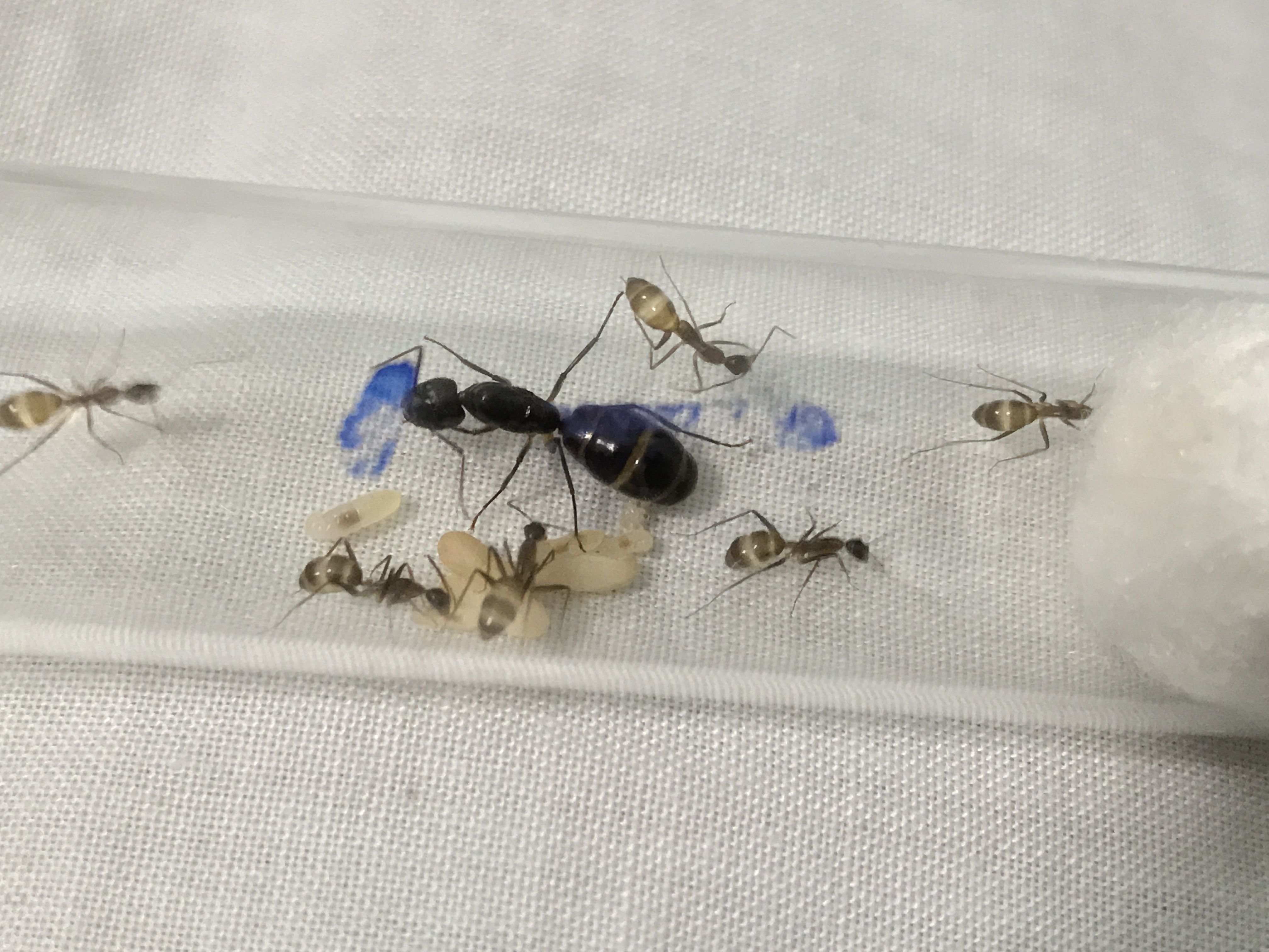 Camponotus irritans