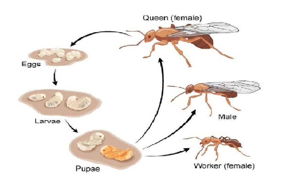 life_cycle_of_ants