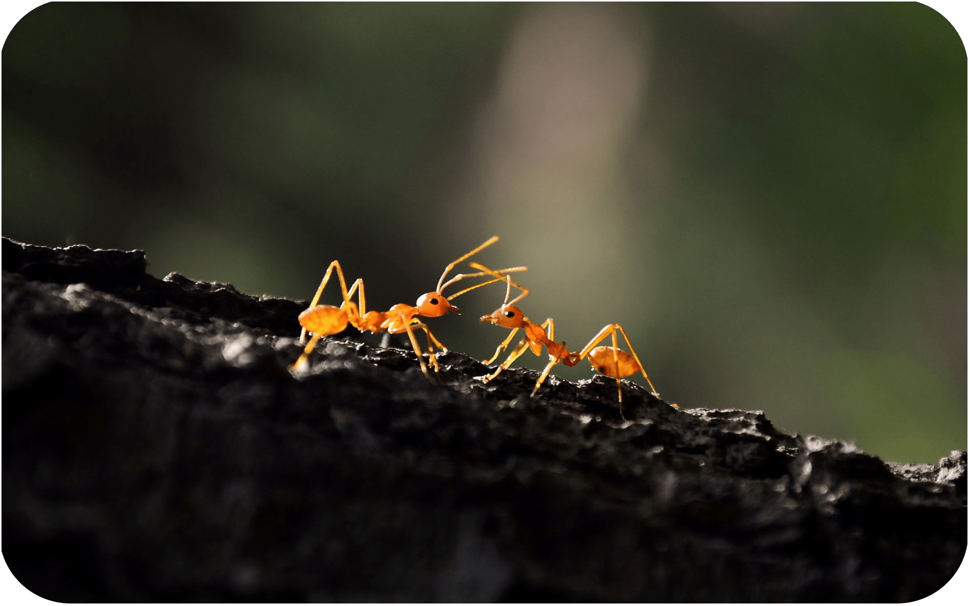 ant queen for sale