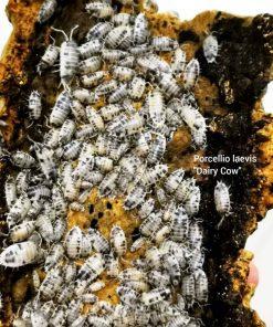 Dairy Cow Isopod